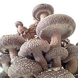 しいたけ シイタケ 栽培 キット/お得な 菌床 2個 入り/お部屋で きのこ キノコ
