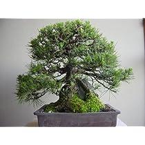 盆栽 黒松(クロマツ)