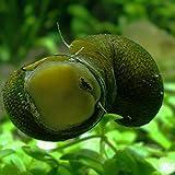 【生体】石巻貝 10個 淡水 コケ取り 淡水貝 川魚 イシマキガイ