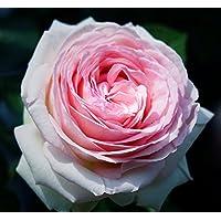 【バラ苗】 ピエールドゥロンサール (大輪CL) 国産苗 大苗 6号ポット ピンク