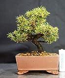 白芽 八房 エゾ松 盆栽 縦11cm 横11cm 高さ14cm