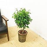 ベンジャミン 観葉植物 鉢カバー付 インテリア ミニ 中型