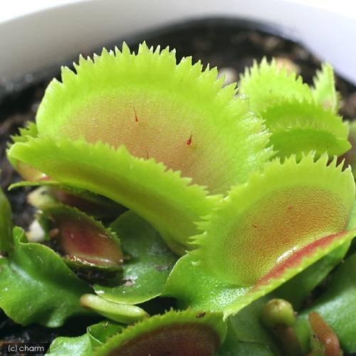 charm(チャーム) (食虫植物) ハエトリソウ ブリストルトゥース 3号(1ポット)