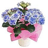 ドリップブルー3輪~4輪さかもと園芸 2015フラワーオブザイヤー 母の日 あじさい アジサイ 紫陽花 花鉢植え 花 ギフト プレゼント 贈答品