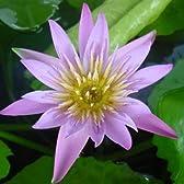 水生植物:温帯性スイレン(睡蓮)*【花色選べます】 (クラレット)