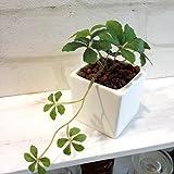 シュガーバイン ミニプラント DB 消臭◎CT触媒加工 造花 観葉植物