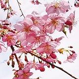 国華園 桜 河津 3株【※発送が国華園からの場合のみ正規品です】