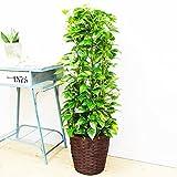 ポトス タワー仕立て 観葉植物 鉢カバー付 育てやすく丈夫 支柱 中型 大型 インテリア