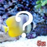(海水魚)おまかせチョウチョウウオ(5匹) 本州・四国限定[生体]