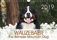 WAUZEBAER the Bernese Mountain Dog 2019: Photos of a Bernese Mountain Dog (Calvendo Animals)