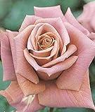 バラ苗 禅(ぜん) 【禅ローズ】国産苗 大苗 6号ポット 茶色 バラ 苗 四季咲き 木立ち 中輪 (FL) 薔薇