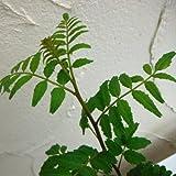 山椒(サンショウ):朝倉(アサクラ)3.5号ポット*[トゲなしで大粒の実の人気種] ノーブランド品