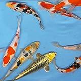 お任せ 錦鯉Mix (LL) 鯉 色鯉 21~25cm前後 5匹