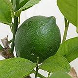 サイパンレモン7号ポット[グリーンレモン 柑橘・かんきつ類苗木] ノーブランド品