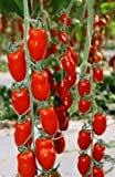 イタリアントマト 種 12粒