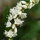 (観葉)山野草 シロバナサクラタデ(白花桜蓼)(1ポット分)