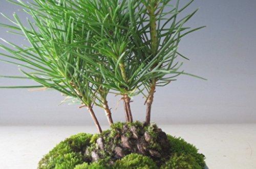 ミニ盆栽 黒松の寄せ植え(松ぼっくり付き)
