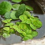 (ビオトープ/水辺植物)フィランサス フルイタンス(無農薬)(10株) 本州・四国限定[生体]