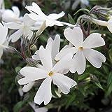 芝桜(シバザクラ):モンブラン(白花)4株セット[ホワイトガーデンに]