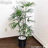 シュロチク 110cm~125cm 白陶器鉢+黒鉢カバー 生花 観葉植物