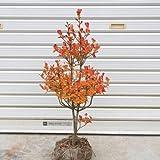 庭木:ドウダンツツジ(どうだんつつじ) H:50-60cm