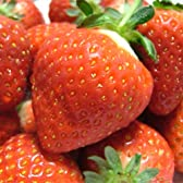 山形県産 新品種 苺(いちご) おとめ心 3kg [業務用、急速冷凍、加工用]