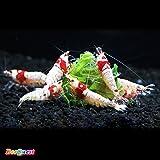 【BeeQuest】レッドビーシュリンプ 初心者向き バンド・日の丸・モスラMIX 10匹+補償1匹(飼料3品付き)[生体]