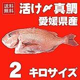 活け〆 真鯛 約2kgサイズ 丸ごと一匹尾頭付き(養殖:冷蔵便でお届け)◆愛媛を筆頭に最良の鯛をお届けします