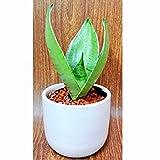 ミニ植物 サンスベリア シルバーハニー ハイドロカルチャー 3号鉢