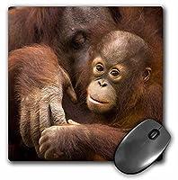 3drose LLC 8x 8x 0.25インチで、フロリダ州Pensacolaオランウータンマウスパッド動物園Joanne Wells ( MP _ 89195_ 1)