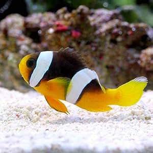 (海水魚) セバエアネモネフィッシュ(ワイルド)(1匹) 本州・四国限定[生体]