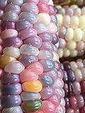 グラスジェムコーン 世界の貴重な宝石 無農薬栽培の種子 (10粒)