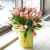 相武ガーデン 鉢花 シャコバサボテン 6寸プラスチック鉢 ギフト