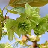 桜 苗木 御衣黄(ギョイコウ) 12cmポット苗 さくら苗