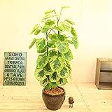 観葉植物:ポリシャス・フリスビー きらめき*陶器鉢 受け皿付 大型ヤマト便
