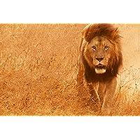 野生動物のライオン - #20283 - キャンバス印刷アートポスター 写真 部屋インテリア絵画 ポスター 90cmx60cm