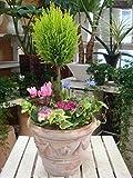 コニファーゴールドクレスト トピアリー仕立て(スタンド)をメインに季節のお花でおまかせ寄せ植え アンティーク風のテラコッタ鉢植え おまかせピック付き