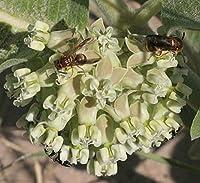 種子パッケージ:トウワタArenaria砂ミルク10_Seeds
