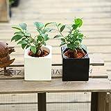 がじゅまる 観葉植物:ガジュマル*ハイドロカルチャー 陶器鉢カバー 鉢色おまかせ