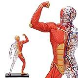 人体解剖模型 筋肉・骨格モデル 4D Human Muscle & Skeleton Model