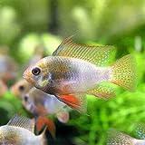 (熱帯魚)レインボー・ラミレジィ(国産ブリード)(1ペア) 本州・四国限定[生体]