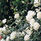バラ苗 新雪 国産大苗6号スリット鉢 つるバラ(CL) 四季咲き中輪 白系