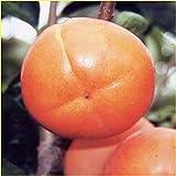 渋柿の苗木 平核無(ヒラタネナシ)柿