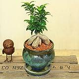 がじゅまる 観葉植物:ガジュマル*陶器鉢 パティーナジャーS 受け皿付