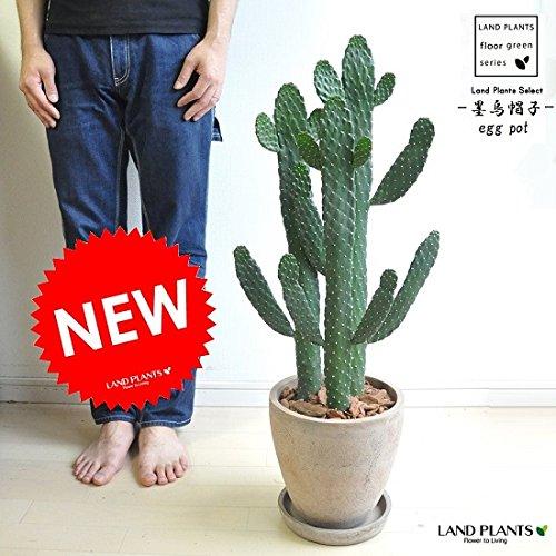 LAND PLANTS『墨烏帽子』
