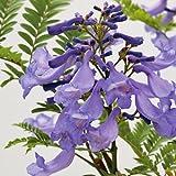 熱帯植物 わい性ジャカランダ「ブルーブロッサムビューイング」の苗木