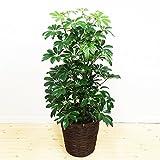 シェフレラ ホンコンカポック 鉢カバー付 観葉植物 インテリア 中型 大型