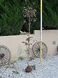 花水木 白 単木 樹高 H:2000mm