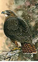 Northwest Art Mall BA-4849 Red Tailed Hawk Print by Artist Dave Bartholet 11 x 17 [並行輸入品]