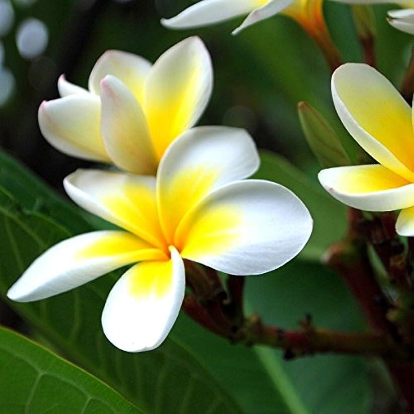 エキス愛情深い咲くアロマフレグランスオイル ジャスミン(Jasmin)